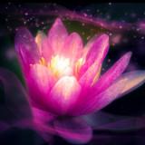 Seductive Lotus